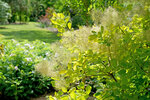 Winecraft Gold smokebush blooming in a landscape