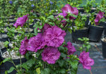 Magenta Chiffon rose of Sharon with several blooms on it