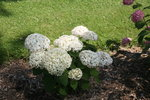 Dwarf Hydrangea arborescens