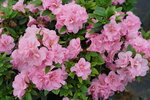 Perfecto Mundo Double Pink reblooming azalea in flower