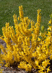 Show Off Sugar Baby Forsythia