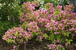 Snippet Lime Weigela