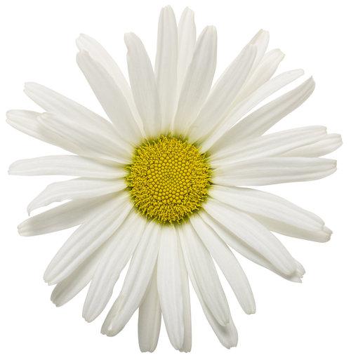 Amazing Daisies® Daisy May® - Shasta Daisy - Leucanthemum