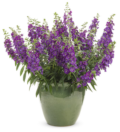angelonia_angelface_blue_improved.jpg