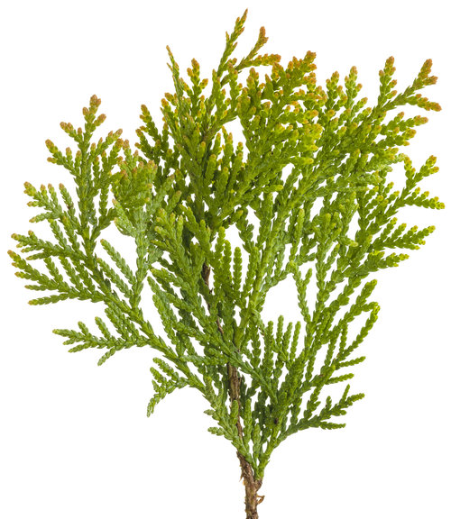 Anna's Magic Ball® - Arborvitae - Thuja