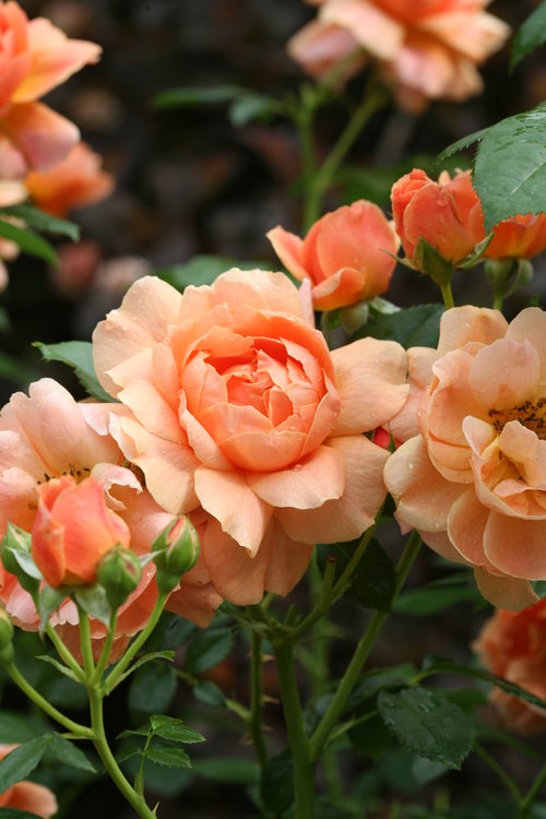 At Last™ Rose Blooms