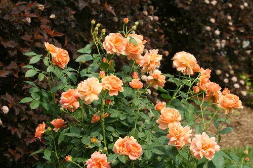 At Last™ Landscape Rose