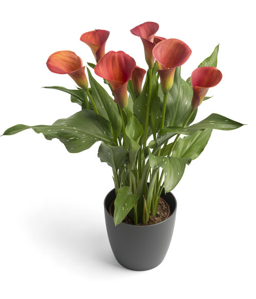 Be My™ Main Squeeze™ - Calla Lily