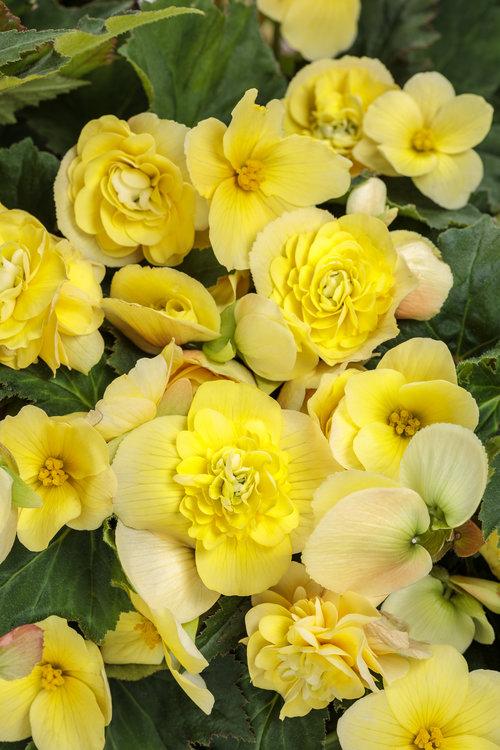 begonia_double_delight_primrose.jpg