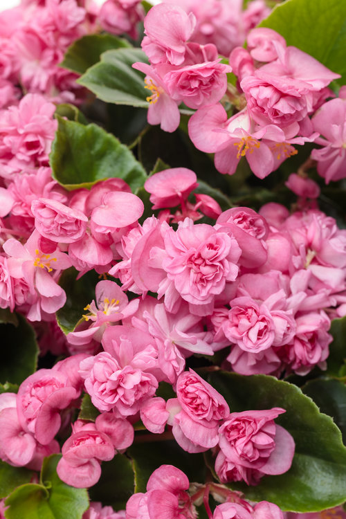 begonia_double_up_pink.jpg