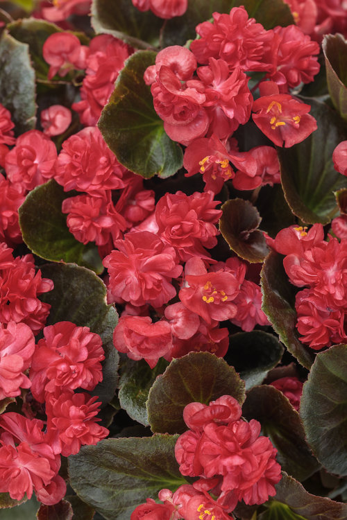 begonia_double_up_red.jpg