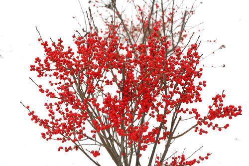 Berry Poppins Ilex