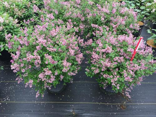 Bloomerang Dwarf Purple Lilac Plants Jpg Proven Winners