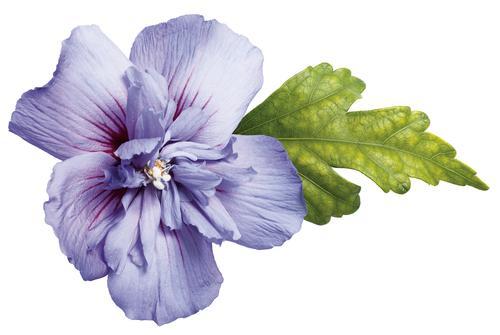BlossomBlueChiffon02.jpg