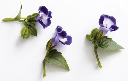 BlossomTorenia.jpg