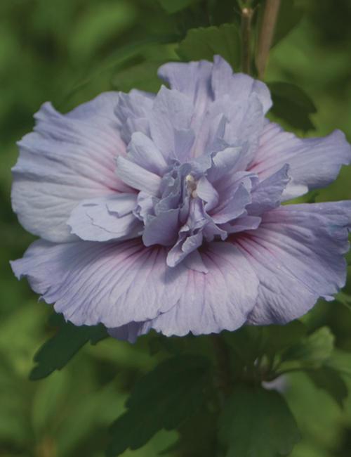 BlueChiffonHibiscus.jpg