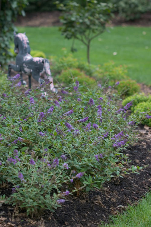Lo & Behold 'Blue Chip' Buddleia (butterfly bush)