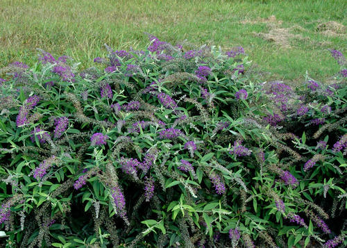 buddleiapurplehaze2nc2005-29.jpg
