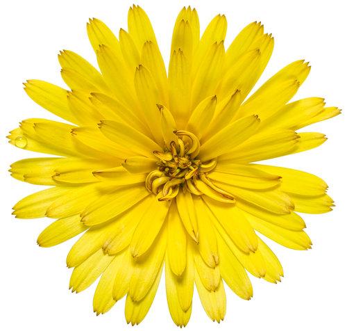 calendula_lady_godiva_yellow_02.jpg