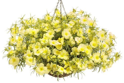 calylophus_ladybird_lemonade_basket.jpg