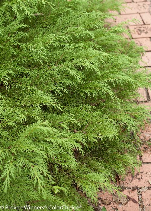 Celtic Pride Microbiota (Siberian Cypress)