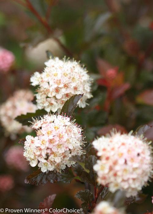 Coppertina Physocarpus (Ninebark)
