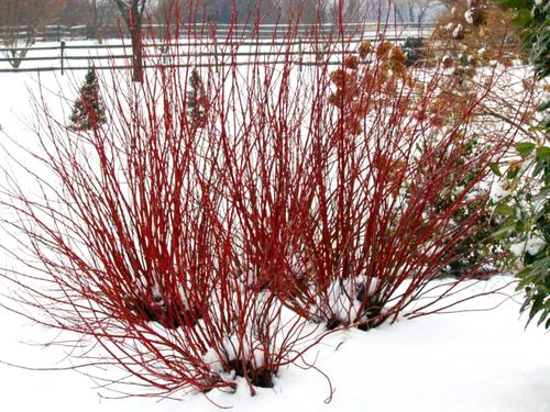 Arctic Fire Dogwood in the snow