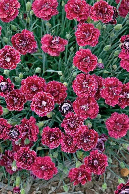 dianthus_pomegranate_kiss.jpg