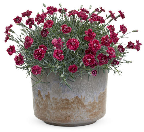 dianthus_pomegranate_kiss_0.jpg
