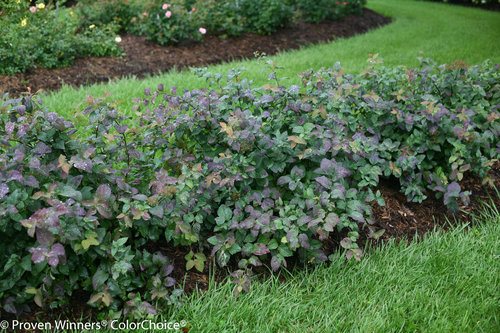 Double Play Blue Kazoo Spirea