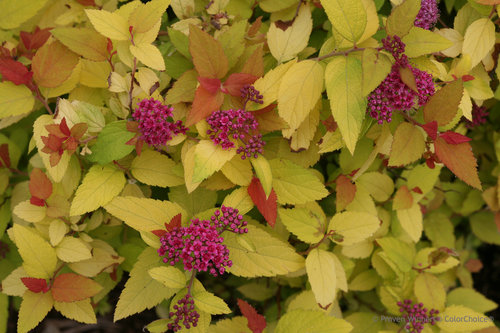 Double Play Candy Corn Spiraea