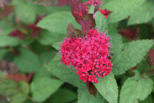 Double Play Doozie spirea