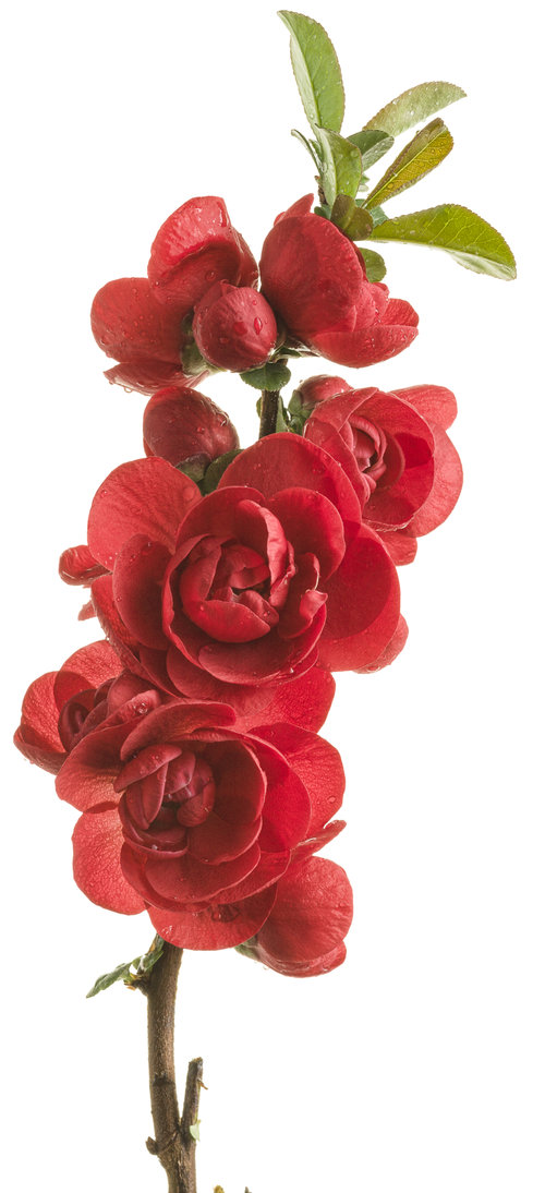 Double Take Scarlet™ - Quince