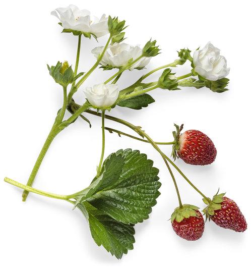 fragaria_berried_treasure_white_macro_01.jpg