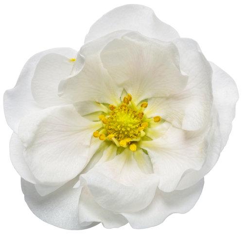 fragaria_berried_treasure_white_macro_04.jpg