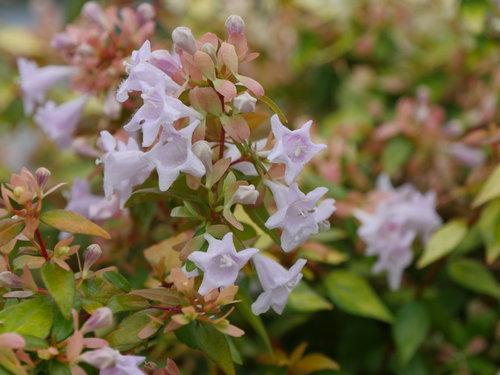 Funshine abelia flowers