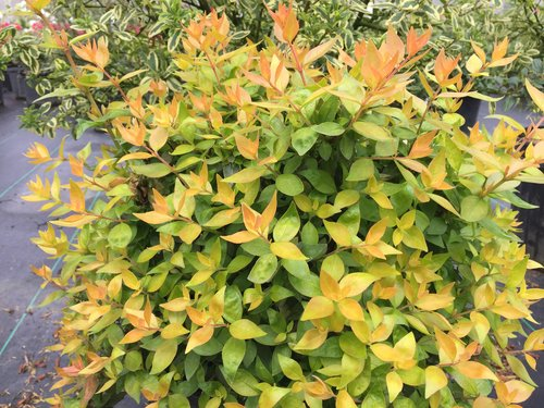 Funshine abelia plant