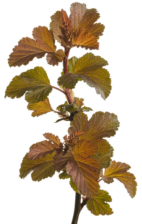 Ginger Wine™ - Ninebark - Physocarpus