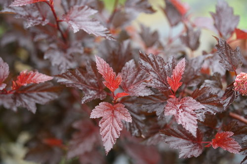 Ginger Wine physocarpus
