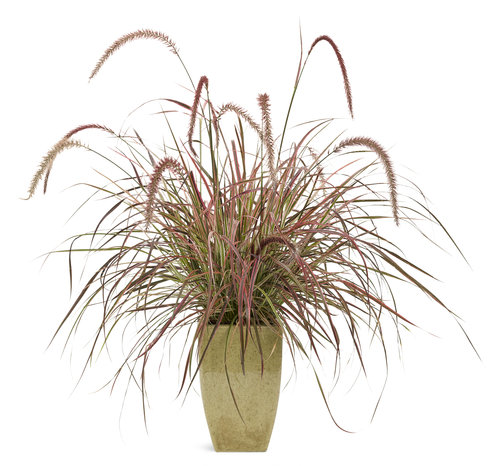 Graceful Grasses® 'Fireworks' Mono