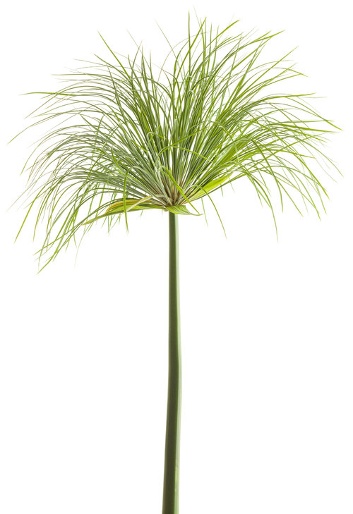Graceful Grasses® Prince Tut™