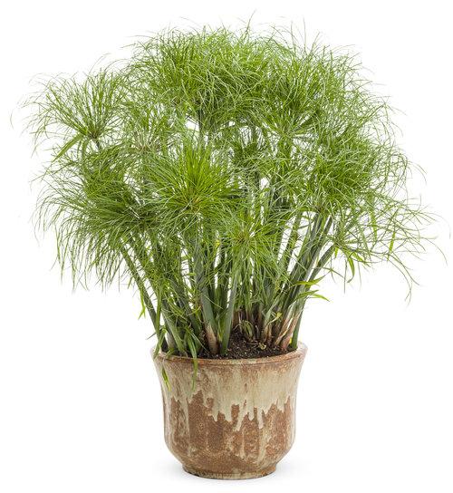 graceful_grasses_prince_tut_cyperus.jpg
