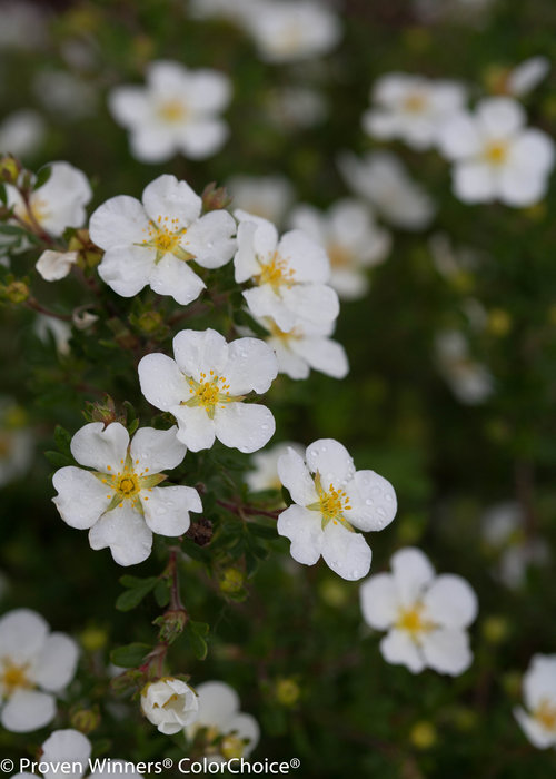 Happy Face White Potentilla