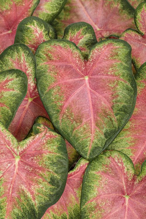 heart_to_heart_rose_glow.jpg