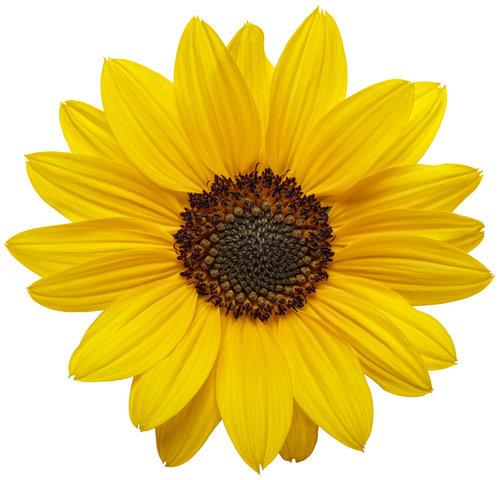 helianthus_suncredible_yellow_01.jpg
