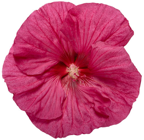 hibiscus_summerific_evening_rose_03-macro.jpg