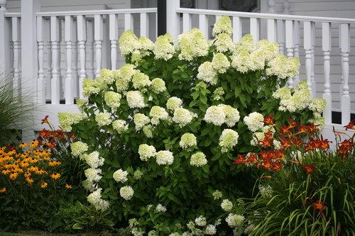 'Limelight' - Hardy Hydrangea - Hydrangea paniculata