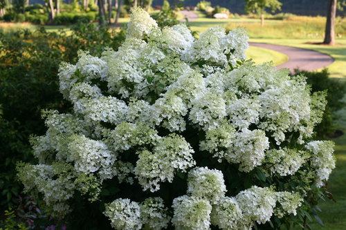 hydrangea_paniculata_bobo_img_1681.jpg