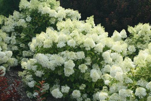 hydrangea_paniculata_bobo_img_1863.jpg