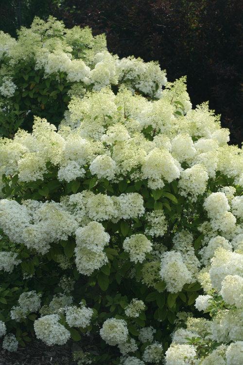 hydrangea_paniculata_bobo_img_1866.jpg